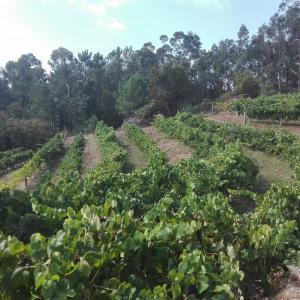 Viñedo Pedralonga